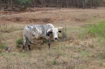 Cattle are traditionally a sign of wealth and prestige, used more to confer social status than as a source of meat or dairy. The Nguni breed of cattle is unique to southern Africa.